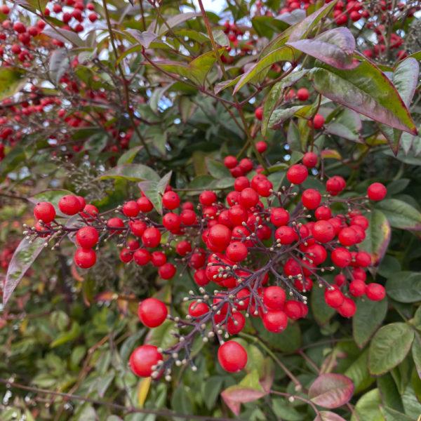 Bayas en otoño/invierno