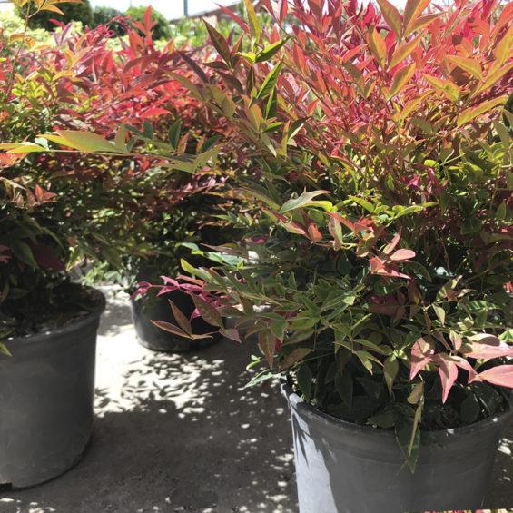Equisetum hyemale viveros pe a centro jardiner a - Centros de jardineria madrid ...
