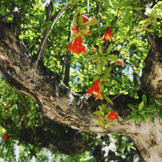 Floracion granado mayo