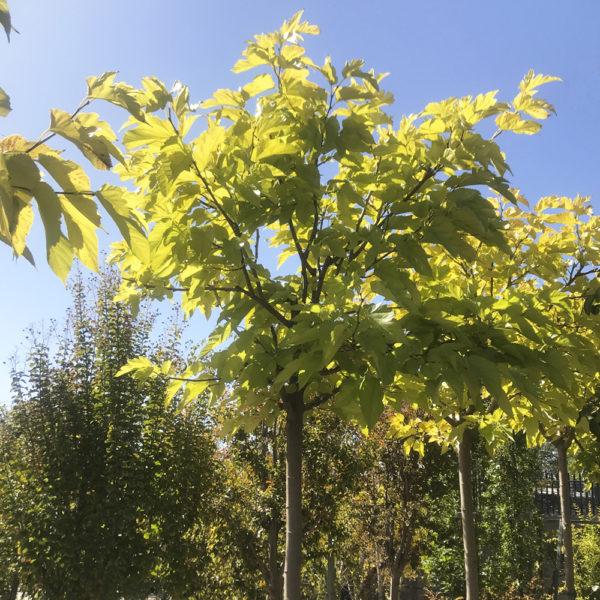 Morus platanifolia fruitless viveros pe a centro - Centros de jardineria madrid ...